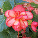Begonia sp. (tuberous begonia) (Newark, Ohio, USA) 2