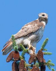 Hawk's Morning Perch (b.m.a.n.) Tags: gta maple hawk predator bird flying ontario yorkregion nikond850 birdsofprey birds