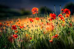 Summer breeze (Andrew Thomas 73) Tags: nikond850 poppies poppy summer wild flower