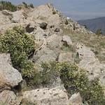 littleleaf creambush, Holodiscus microphyllus thumbnail