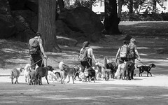 The Herders (John St John Photography) Tags: centralpark newyorkcity newyork streetphotography candidphotography dogs dogwalkers peopleofnewyork bw blackandwhite blackwhite blackwhitephotos johnstjohn