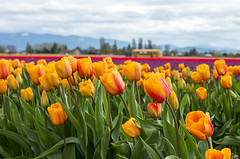 Field Trip Memories (s.d.sea) Tags: skagit valley tulip festival roozengaarde spring tulips flowers field bus washington washingtonstate pnw pacificnorthwest pentax k5iis flower floral blossoms garden