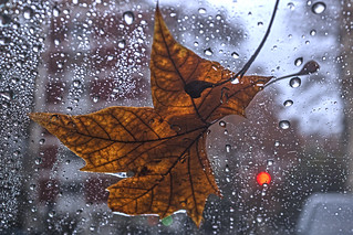 The wet leaf