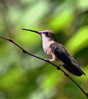 Hummingbird-123w