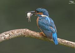 Kingfisher (Mick Erwin) Tags: kingfisher nikon afs 600mm f4e fl ed vr lens d850 mick erwin