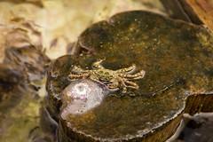 Cangrejo de formentera (rubenzmata) Tags: formentera cangrejo scrab jellyfish medusa