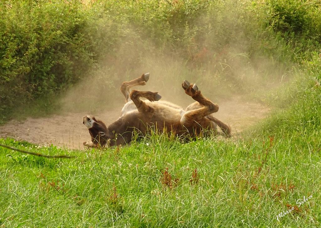 Águas Frias (Chaves) - ... burro a espojar-se ...