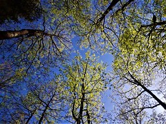 Gorgeous forest from below. (nastassjafickosoklic) Tags: forest woods trees green leaves spring sky blue nature landscape explore