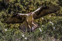 Incoming (Phil Gower Bird Photography) Tags: bird wildlife nature bonellis eagle