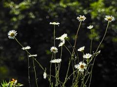 Daisies (JSB PHOTOGRAPHS) Tags: dscn2619 daisies daisy bokehlicious bokeh deltaponds eugeneoregon nikon flowers p900 coolpix leaves