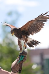 Harris Hawk (Note-ables by Lynn) Tags: bird hawk birdsofprey falconry harrishawk 7dwf faunatheme