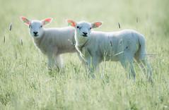 All ears (Ingeborg Ruyken) Tags: grass spring sheep mei flickr ochtend 500pxs empelfilmpjelente2018 empel gras lamb empelsedijk lente natuurfotografie lammetje may instagram schaap