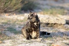 IMG_4117 Lola, Mallorca (Fernando Sa Rapita) Tags: canon eos6d lola mallorca sarapita tamron tamron150600 animal cat gata gatita kitten mascota pet canoneos
