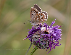 Female Chalkhill Blue (ArtFrames) Tags: chalkhillblue ivinghoebeacon butterflies chalk flowers insect blues