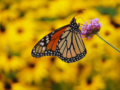 Before Sunset (Tyson Poeckh) Tags: butterfly monarch flowers macro ann arbor insect platinumheartaward sony