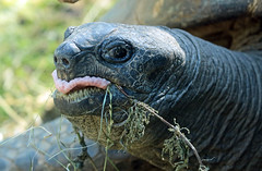 Aldabra turtle Artis JN6A1493 (j.a.kok) Tags: schildpad turtle aldabraschildpad aldabraturtle reuzenschildpad reptile reptiel animal artis giantturtle