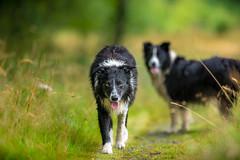 'The Strut' (JJFET) Tags: border collie dog dogs sheepdog herding