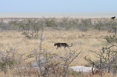 DSC_2470 (Andrew Nakamura) Tags: etosha namibia etoshanationalpark projectdragonfly earthexpeditions mammal bigcat felid leopard africanleopard animal wildlife