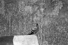 Pigeon and textured wall (Rk Rao) Tags: bw blackandwhite texture alone mesmerising monochrome nature fineart fineartphotography art artistic portraitphotography travel places incredibleindia beauty naturallight rkrao radhakrishnaraoartist rkclicks newdelhi delhi india