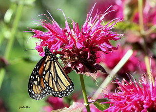royalty in the bee balm