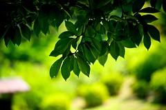Shadows of leaves (tez-guitar) Tags: leaves summer green shadow light pentax pentaxart macro machida 町田 machida sigma