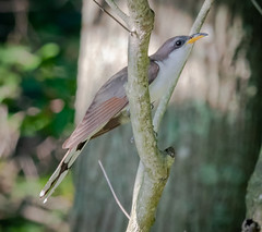 Yellow-billed Cuckoo (tresed47) Tags: 2018 201807jul 20180716delawarebirds birds bombayhook canon7dmkii content cuckoo delaware folder july peterscamera petersphotos places season summer takenby us yellowbilledcuckoo