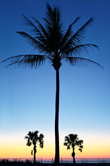 Vestey's Palms (claustral) Tags: darwin vesteysbeach fanniebay nt australia sunset evening palms trees colorful symmetry vertical 2018 tropical