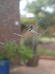 Daddy long-legs in the window (glcoote) Tags: southaustralia sa southaustralian gregcoote pholcusphalangioides daddylonglegs spider arachnid mygarden