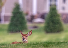 All Alone 2 (Wes Iversen) Tags: grandblanc michigan tamron150600mm alone animals bokeh deer fawn fawns grass houses mammals rain raindrops trees whitetaileddeer wildlife babies baby