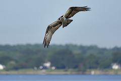 _A734949 (bram-sowers) Tags: sonyfe2470gm sonyfe100400mmgm sonya7riii warsawvirginia rappahannockriver eagle osprey tycho chez