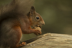 RED SQUIRREL (_jypictures) Tags: animalphotography animals animal canon canon7d canonphotography wildlife wildlifephotography wiltshire naturephotography nature photography pictures redsquirrel squirrel ukwildlife