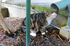Key West (Florida) Trip 2017 7752Ri 4x6 (edgarandron - Busy!) Tags: cat cats kitty kitties cute feline florida keys floridakeys keywest hemingwayhome