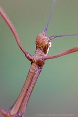 Huananphasma amicum (57Andrew) Tags: hongkong phasmidae lugardroad stickinsect thepeak huananphasmaamicum