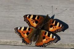 Two (evisdotter) Tags: nässelfjärilar smalltortoiseshell aglaisurticae fjärilar butterflies insects macro nature sooc wood light shadows two coth5