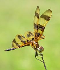 1,001 poses (Vicki's Nature) Tags: halloweenpennant immature male brown gold wingsstripes biello georgia vickisnature canon s5 5462