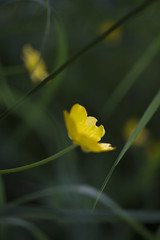 ChippedCup (tiki.thing) Tags: green grass buttercup blur macro bokeh lights smooth canon yellow shine nature natural plants flora focusfriday 7dwf 7dos dof