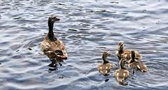 Duck family - 6/22/18 (myvreni) Tags: vermont summer nature outdoors animals birds wildlife ducks ducklings babies