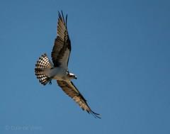 Fish Catching Machine . . . (Dr. Farnsworth) Tags: osprey bird large fishhawk feathers sunshine bellaire fernridge mi michigan spring june2018
