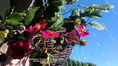 Strawberry 'Toscana' in hanging basket with flowers & fruit on balcony 25th June 2018 (D@viD_2.011) Tags: strawberry toscana hanging basket with flowers fruit balcony 25th june 2018