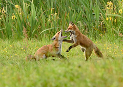 Young foxes (castling2013) Tags: