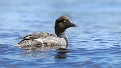 Female Goldeneye (MecCanon [Insta: JLPhotoOfficial]) Tags: waterfowl duck lakechamplain ausable upstateny adirondack goldeneye bucephala