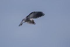 Black shouldered kite (crispiks) Tags: black shouldered kite nikon d500 200500 f56 barnawartha victoria north east birdlife birds prey