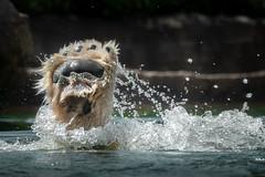 Paws Up For Joy (helenehoffman) Tags: arctic bear wildlife conservationstatusvulnerable sandiegozoo mammal fish ursusmaritimus ursidae tatqiq polarbear polarbearplunge marinemammal animal