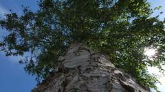 Birke / Birch (FI:KU) Tags: birke birch natur nature tree baum sonne sun