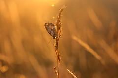 IMG_1675 (geraldtourniaire) Tags: natur nature canon schärfentiefe schachbrett sonnenuntergang eos6d ef ef28100lmacroisusm macro bokeh 6d