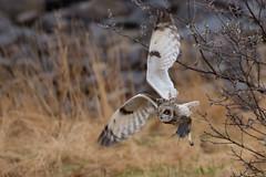 RP Lemming (kookaburra 81) Tags: oiseau hiboudesmarais scandinavie asioflammeus shortearedowl strigidés strigiformes bird