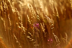 IMG_1934 (geraldtourniaire) Tags: eos6d ef ef1285lusm gräser prime 12 natur nature gegenlicht goldene 6d bokeh