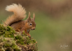 Red Squirrel (Ian howells wildlife photography) Tags: ianhowells ianhowellswildlifephotography nature naturephotography nationalgeographic wildlife wildlifephotography wild redsquirrel scotland