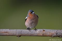 Fringuello _005 (Rolando CRINITI) Tags: fringuello uccelli uccello birds ornitologia montebaldo natura
