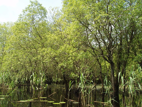 Other wet woodland with willows and reeds. Photo by Micheline Sheehy Skefffington